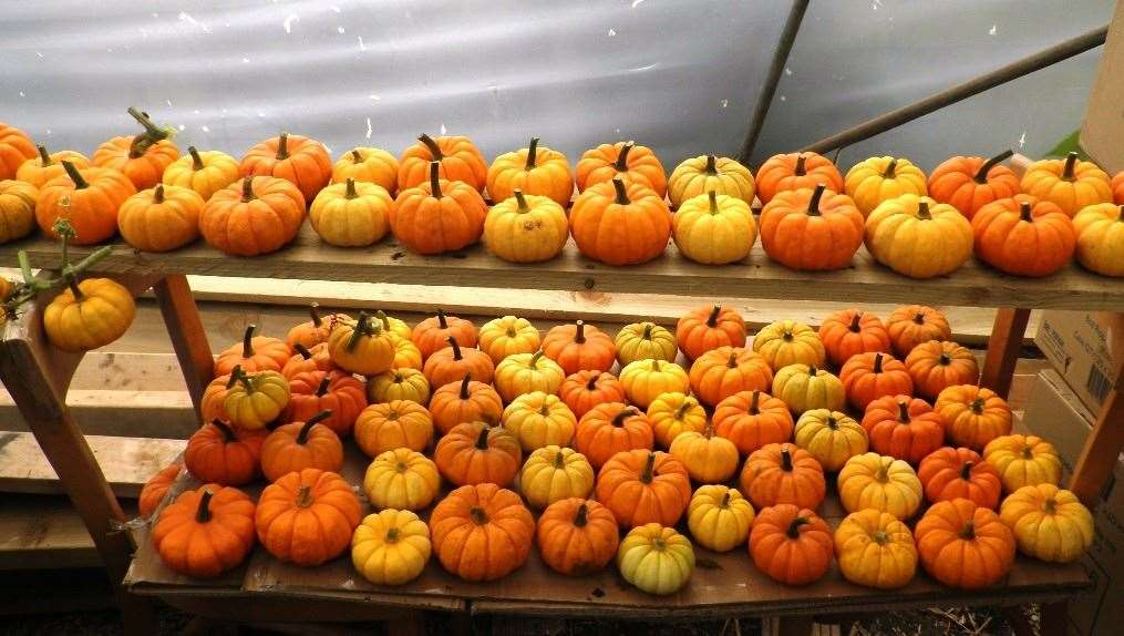 Pumpkins at Easton Lodge (42479306)