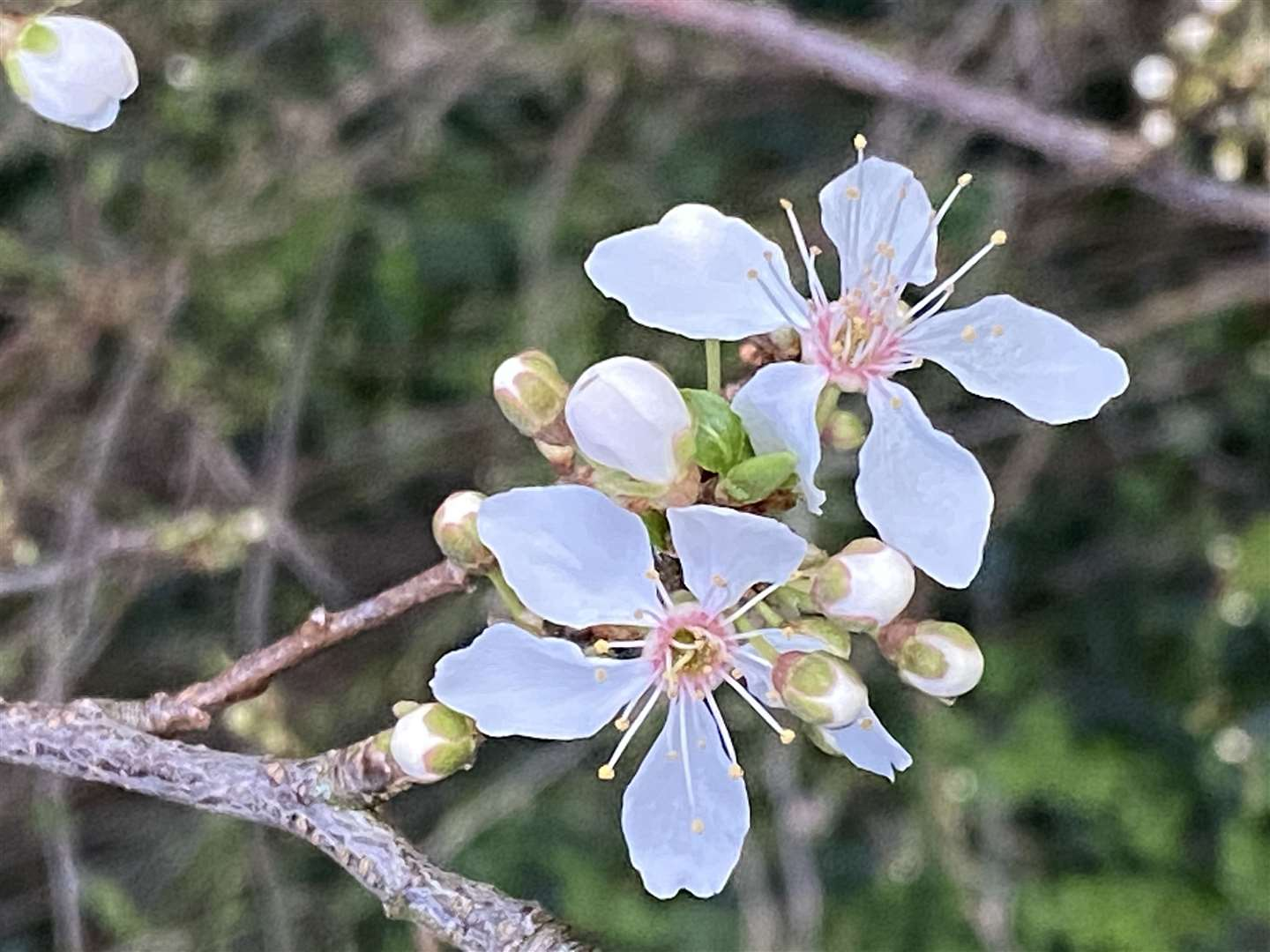 Hawthorn blossom near the Harvest Moon pub in Thorley Park. Picture: Lesley Marshall (44765548)
