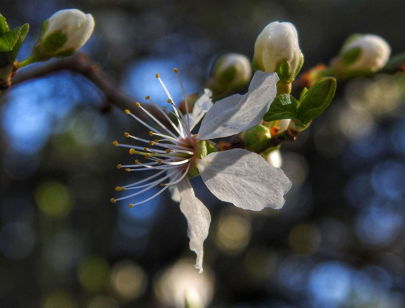 Prunus blossom in Church Lane, Much Hadham. Picture: Kate Hennessey (44765542)