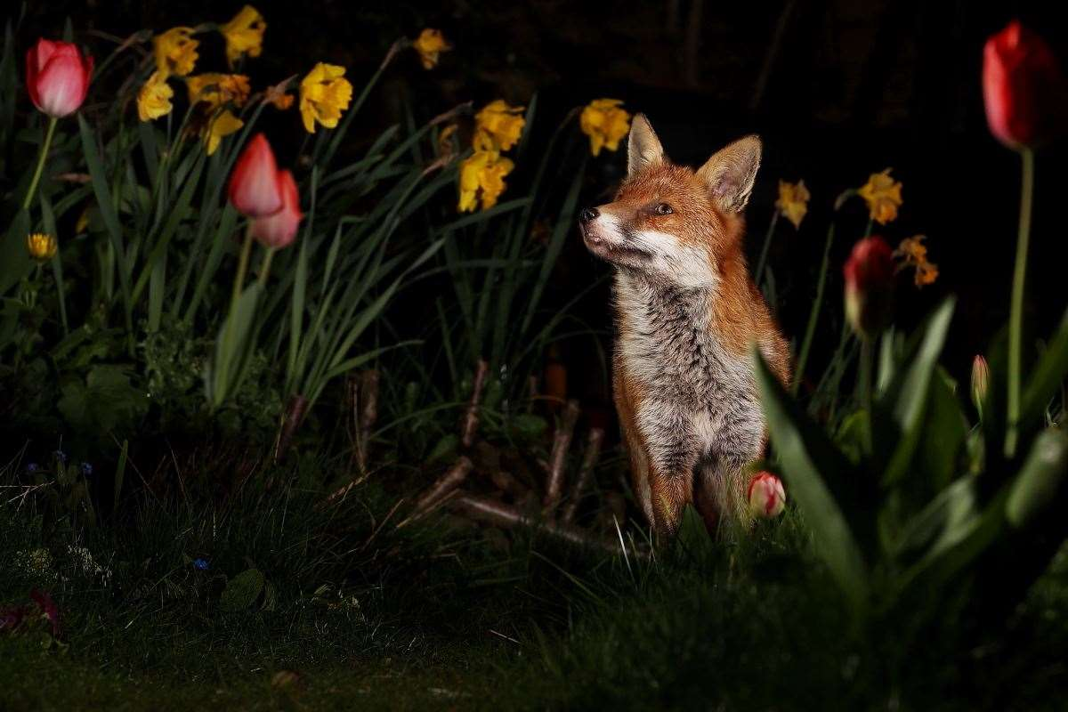 Foxes (44857628)
