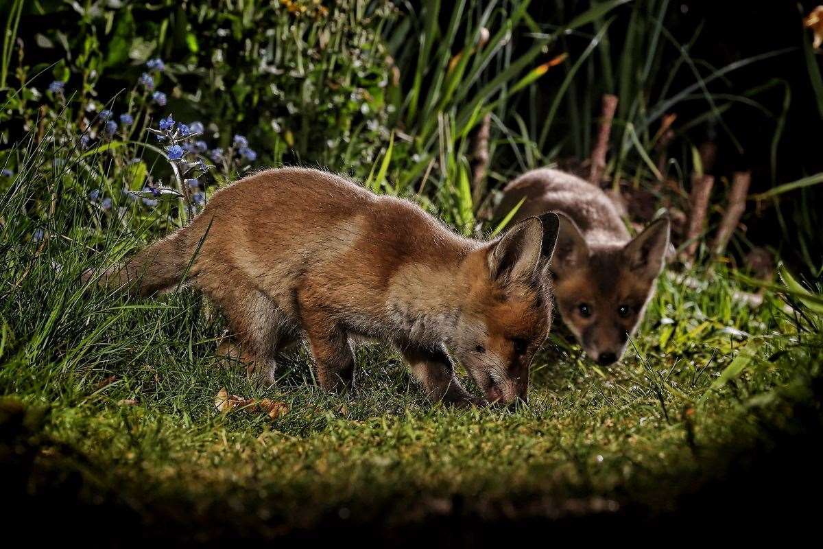Foxes (44857633)