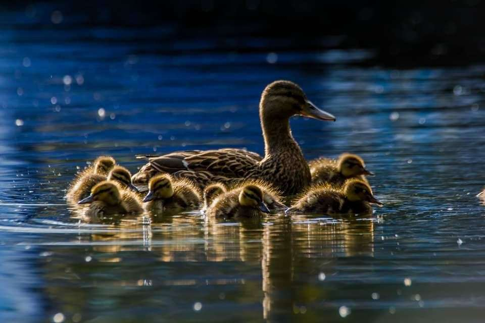 A duck and her eight ducklings on the River Stort near Twyford Lock in Pig Lane. Pic: David Francis (39792170)