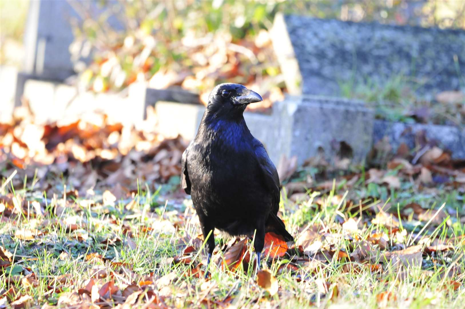 Carrion crow in the cemetery (25806082)
