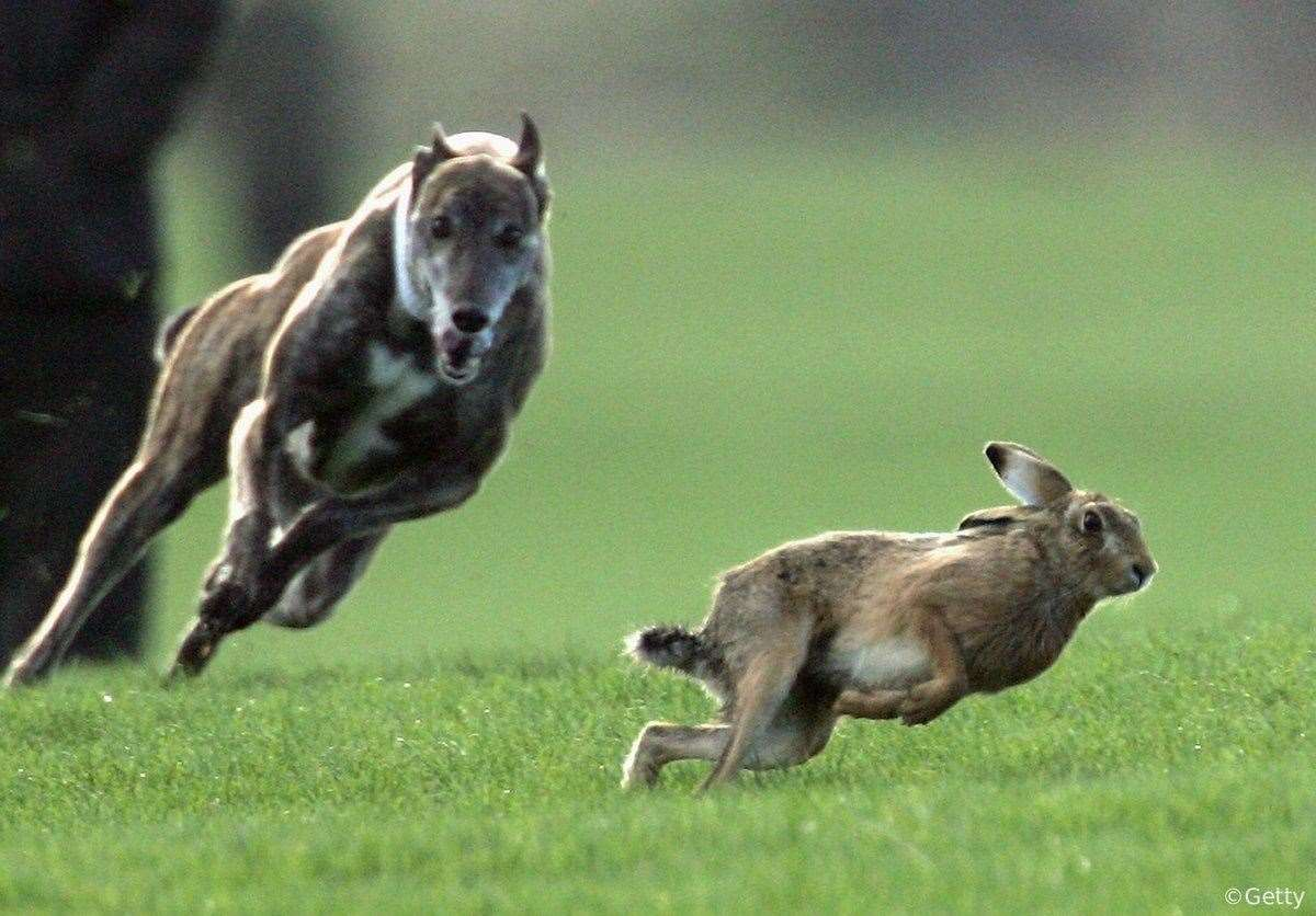 Stock image of a hare being chased by a dog (26675768)