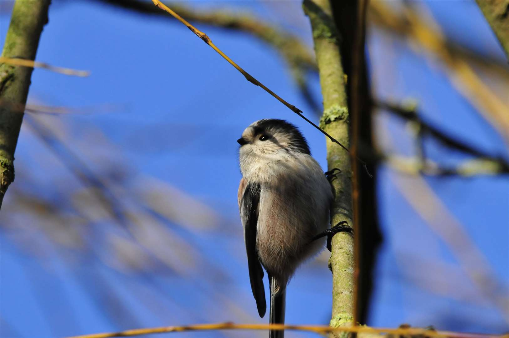 Long-tailed tit in Castle Gardens (25806098)
