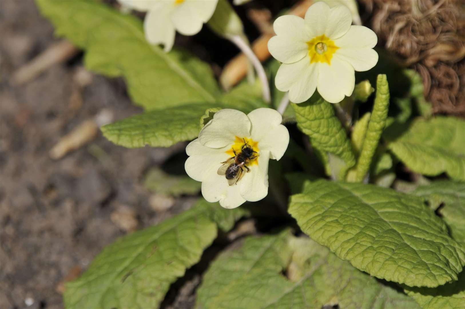 Andrena bicolor on primula (32231669)