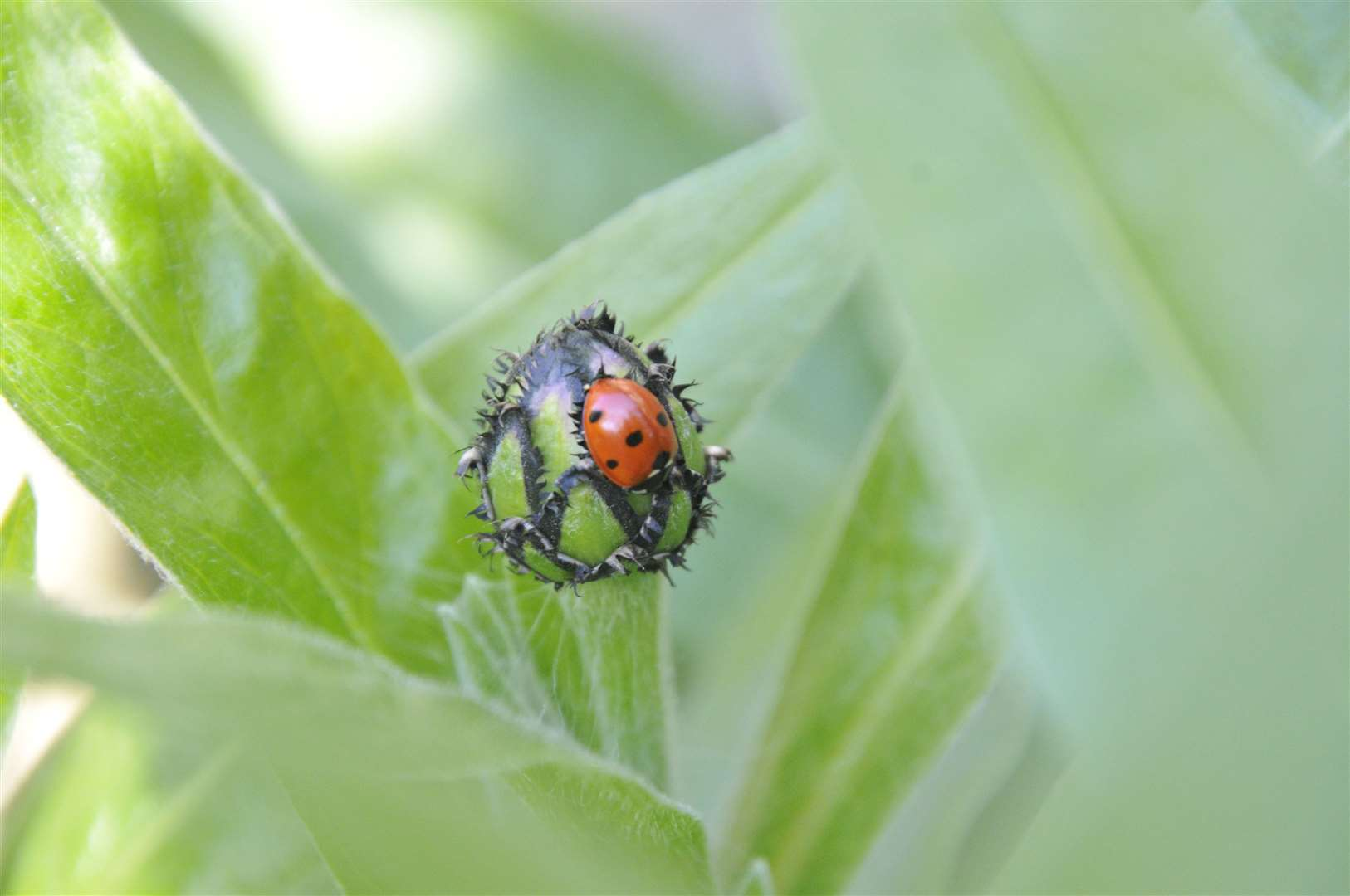 Seven-spot ladybird on cornflower bud (32231652)