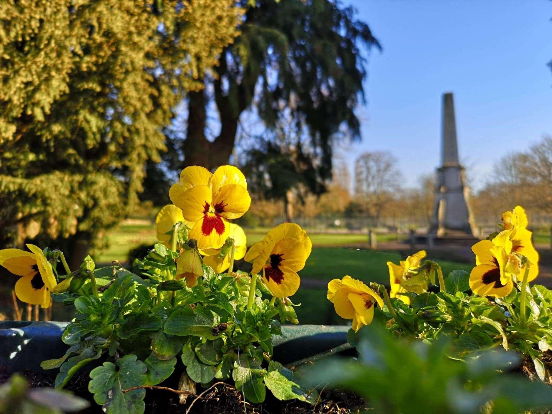 Violas in Castle Gardens in the heart of Bishop's Stortford. Picture: Jandira Gasque (44765556)